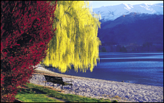 Autumn brings out the reds and golds on the trees on the Wanaka lakefront. Picture / Lake Wanaka Visitor Information Centre