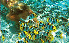 Snorkelling with butterfly fish is one of the many attractions of Tahiti.