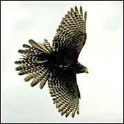 The karearea, or native falcon, is an endangered species which lives on parts of the Blairich Station in Marlborough. Picture / Alan Gibson