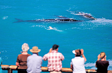 The Head of Bight is one of the best places in the world to see the southern right whales. Photo / SATC