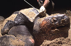 Poaching has led to a severe decline in Pacific leatherback turtle populations. Photo / Reuters