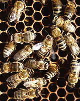 Worker bees near their queen are kept under control by a chemical which acts on their nervous systems to suppress their 'sting reflex'. Photo / Reuters