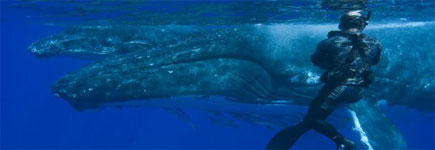 A diver beside a mother and her calf puts these beasts' scale into perspective. Photo / Whale Watch Vava'u