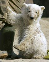 Polar bear cub Knut plays at an enclosure in Berlin zoo. Photo / Reuters