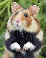 Just 250 great hamsters may remain.