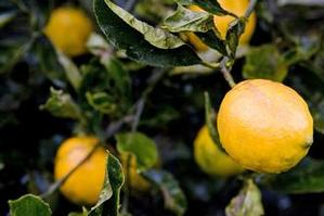 Abundant citrus seems to be under-appreciated at the moment. Photo / Babiche Martens