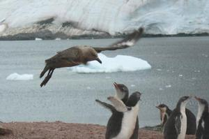 It took more than an hour for Jim Eagles to capture this shot of a skua attacking a gentoo chick in Antarctica.