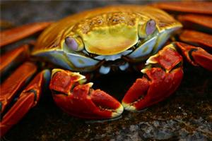 A Sally Lightfoot crab, pictured at the Galapagos Islands. Photo / Vance Haywood