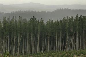 A pine forest near Mangakino. Photo/Alan Gibson