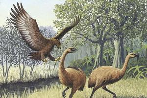 An artist's impression of a Haast's eagle (L) attacking moa. Image / John Megahan in the PLoS Biology