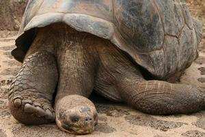 Giant tortoise Lonesome George taking a nap. Photo / Jim Eagles