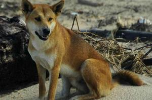 Fraser Island dingoes are considered to be the purest strain still surviving. Photo / Supplied