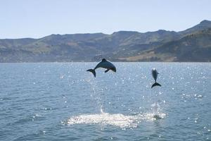 Hector's dolphins leaping in Akaroa Harbour. Photo / Supplied