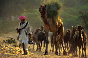 Experience the chorus of camel snorts and people at Pushkar camel fair in India. Photo / Lonely Planet