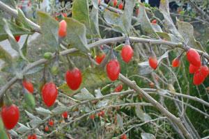 Goji berry bushes. Photo / Supplied