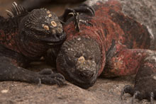 Marine iguanas enjoy the sunshine, unhindered by any real threat of predators. Photo / Jim Eagles