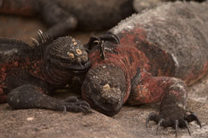 Marine iguanas enjoy the sunshine, unhindered by any real threat of predators. If fact, they're so unafraid that visitors need to watch their feet to avoid stepping on them. Photo / Jim Eagles