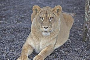 Staff will hold a funeral for the lioness, who will then be buried in the park's cemetery. Photo / Supplied