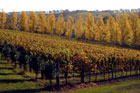 The Yarra Valley is now pinot noir and chardonnay territory, and is home to 55 vineyards. Photo / Sarah Ivey