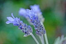 Lavender. Photo / Carolyn Robertson