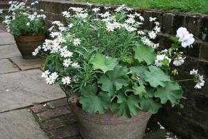 Flowering container plants need consistent care to maintain their looks. Photo / Supplied