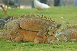 Locals are proud of their land iguanas - unusual creatures that swarm in Parque Bolivar, looking to swipe food. Photo / Jim Eagles.