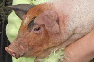 2010 should be the year in which speedy steps are taken to end the cruel confinement of pigs. Photo / Wairarapa Times-Age