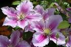 Clematis Pillu likes its head in the sun and its feet in the shade. Photo / Supplied