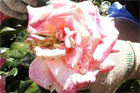 The council ashes were damaging roses and upsetting gardeners. File photo / Capital Community Newspapers