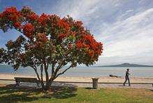 Adding one pohutukawa to the protected list could cost up to $20,000. Photo / Paul Estcourt