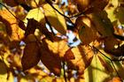 As low sunlight catches golden leaves they glow like stained glass. Photo / Supplied