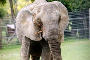 Jumbo, a former circus elephant, is the latest addition to the Franklin Zoo and Wildlife Sanctuary. Photo / Greg Bowker