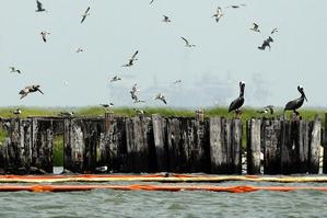 Booms around the island housing sea birds at Breton National Wildlife Reserve off Louisiana are all that is protecting them from region's giant oil spill. Photo / AP