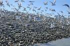 Gulls at Boulder Bank. Photo / Liz Light