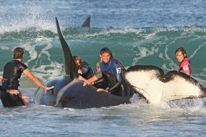 Whale expert Ingrid Visser clings to the dorsal fin of a stranded orca while other rescuers help at Ruakaka Beach. Photo / Northern Advocate