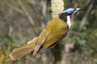 A blue-faced honey-eater on Fraser Island. Photo / Jim Eagles