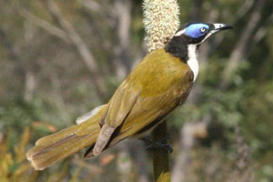 A blue-faced honey-eater on Fraser Island. Photo / Jim Eagles