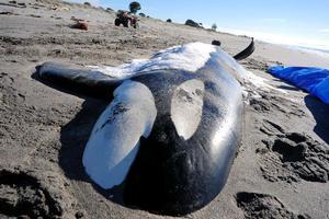The 5.9m orca was found by locals on Whakatane's Piripai Spit. Photo / Whakatane Beacon