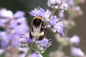 Populations of bumblebees and other pollinating insects have declined in Britain in recent years as their wildflower habitat is eradicated. Photo / Bay of Plenty Times