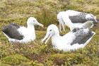 Southern royal albatross. Photo / Jim Eagles