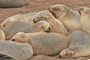 NZ sea lions on Enderby Island. Photo / Jim Eagles