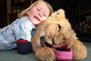 Ryan Sanders, 3, loves to give lion cub Chase, who weighs 18kg, belly rubs. Photo / Alan Gibson