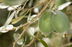Feijoa trees have finished fruiting and can now be pruned. Photo / Supplied