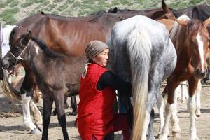 Kyrgyz woman milking mares. Photo / Jim Eagles