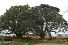 The oak and pohutukawa trees may be listed for protection Photo / Brett Phibbs