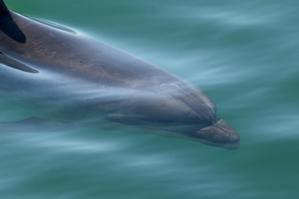 Moko the dolphin. Photo / Bay of Plenty Times