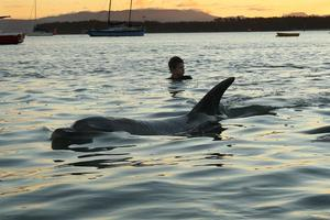 The dorsal fin of Moko  the dolphin breaks the water's surface in Pilots Bay, in Tauranga Harbour. Photo / Alan Gibson