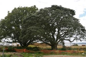 Rosebank Road's pohutukawa tree and oak tree have both been marked for protection. Photo / Brett Phibbs