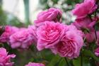 Gertrude Jekyll is a high scented English Rose. Photo/ Supplied