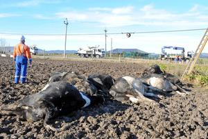 The cows, worth about $2000 each, died after the powerline sagged to within their reach. Photo / Otago Daily Times